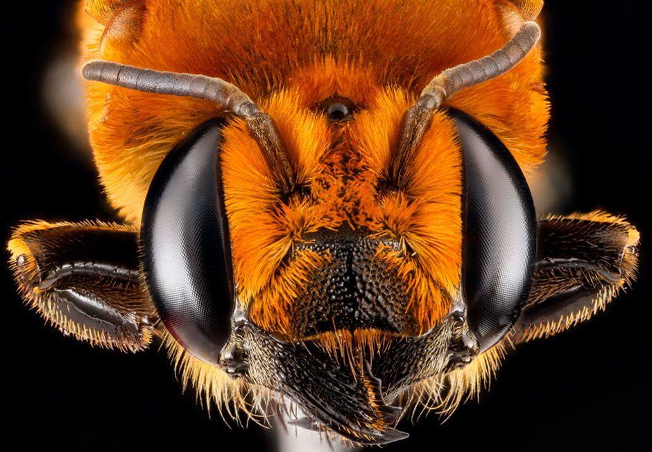 Biene (Megachile lanata), Kuba, photo: Native Bee Inventory and Monitoring Lab, U.S. Geological Survey
