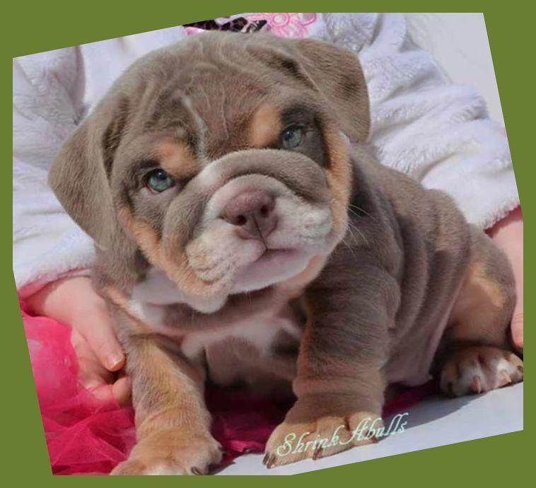 Get Your Free English Bulldog Potty Training Mini Course Here