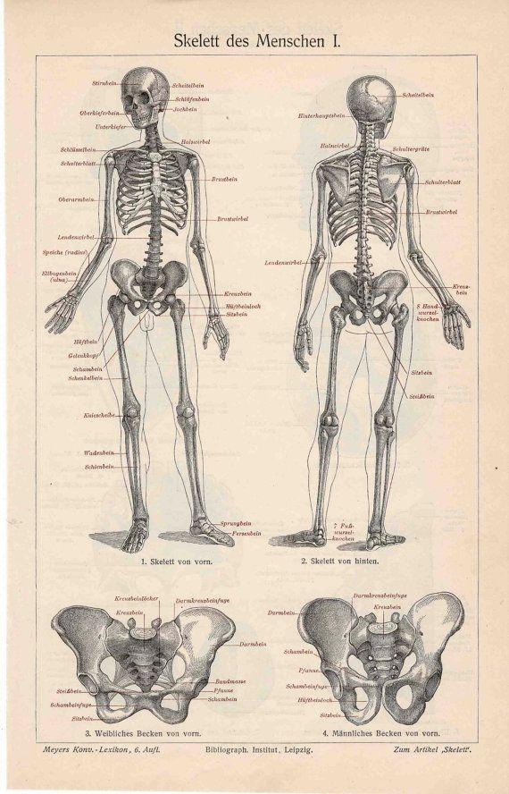 1894 skeleton human original antique anatomy lithograph print - side ...