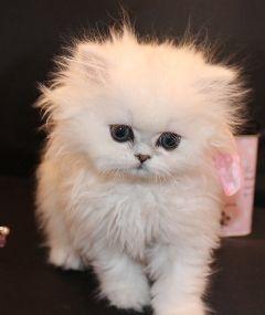 Amazing Dollface Persian Kittens Chinchilla Kittens Cutest Cute Animals Cat Breeds