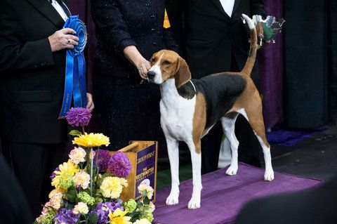 Westminster Kennel Club Dog Show Westminster Dog Show American