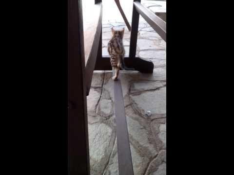 Kitten Lynx playing - YouTube