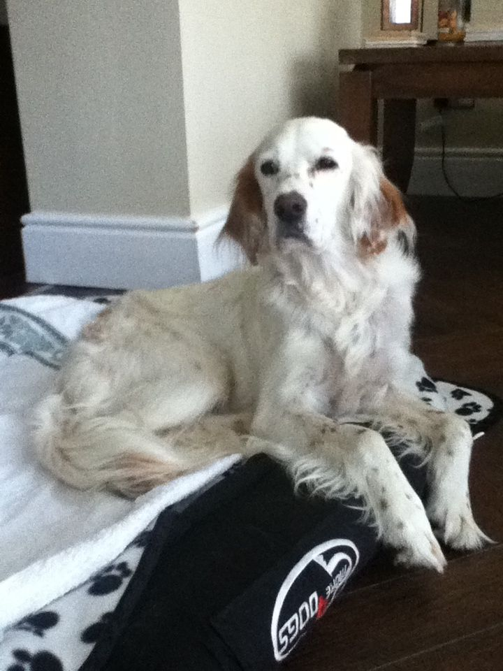 Cute English Setter Penny Rottweiler Puppies English Setter