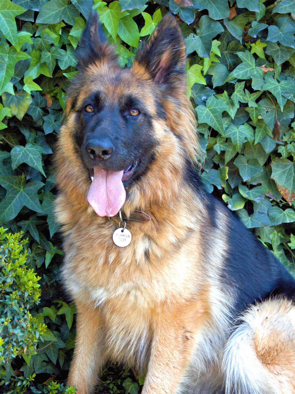 Pin van Amanda Childs op dogs Duitse herders, Duitse