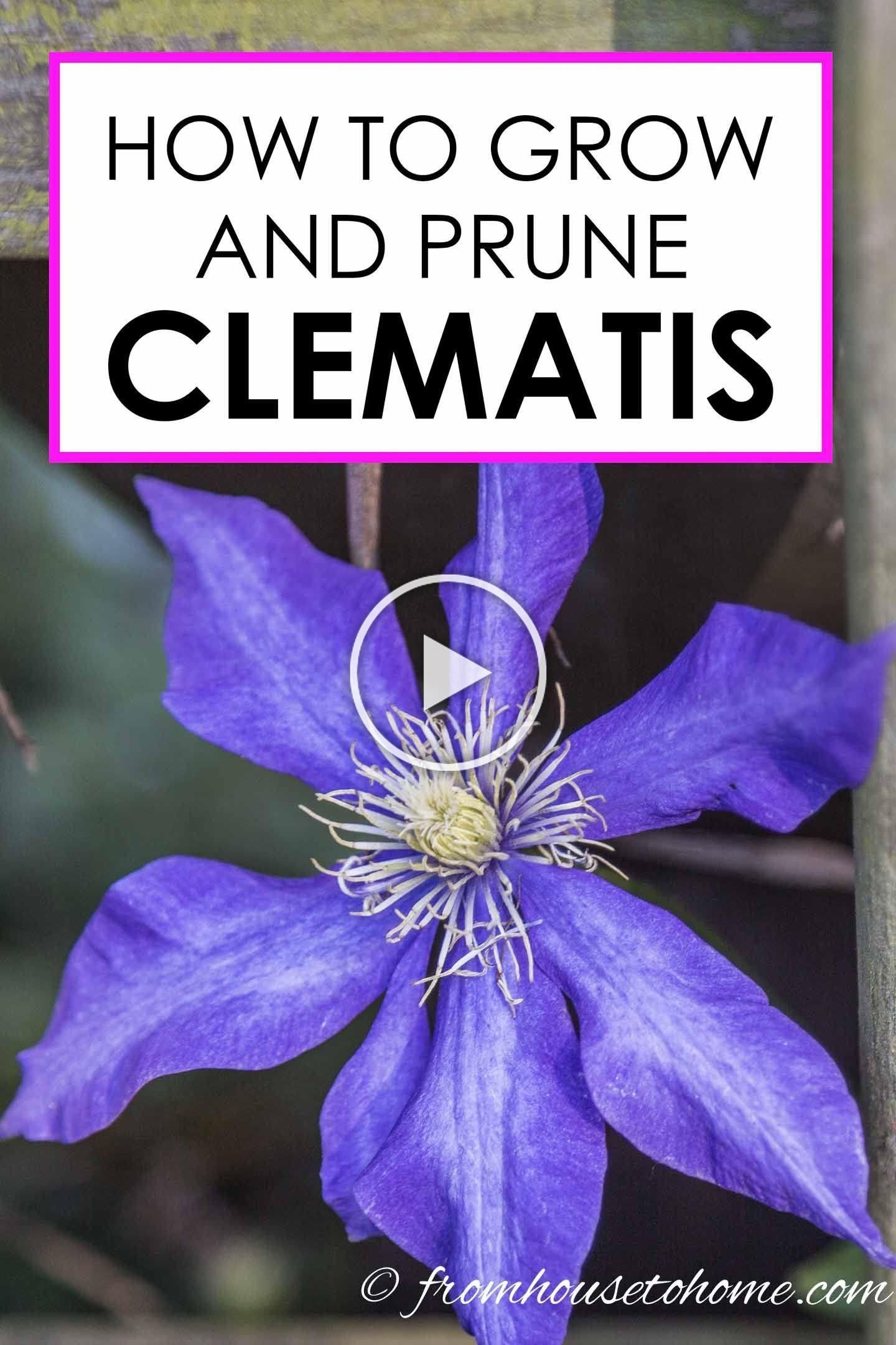 Clematis is an easy to grow perennial vine that thrives in part shade With its huge blooms in pink purple red white and blue I think every garden should have at least one...