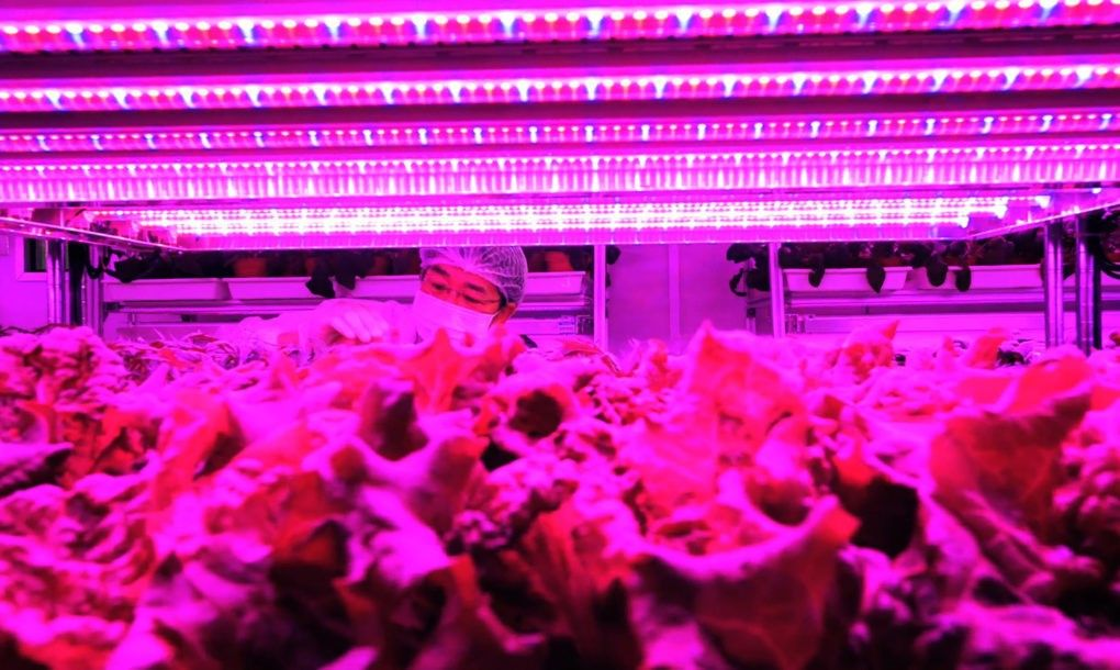Singapore's giant vertical farm grows 80 tons of vegetables every year