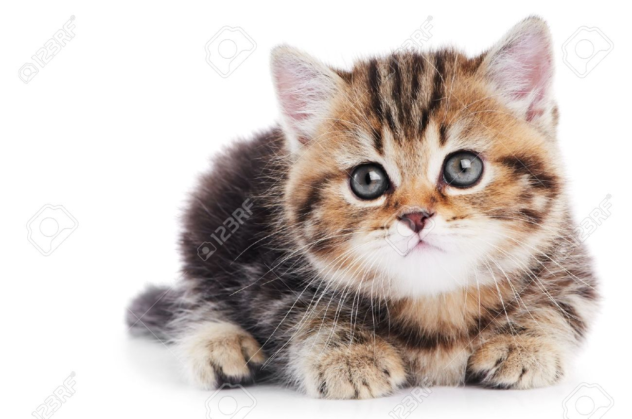 British Shorthair Kitten Cat Isolated Stock Photo, Picture And ...
