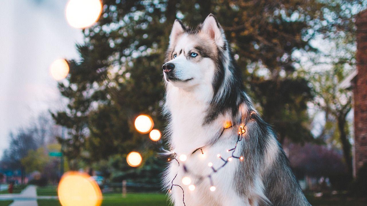 Dog Husky Photography Wallpaper Hd Desktop Lights Tumblr