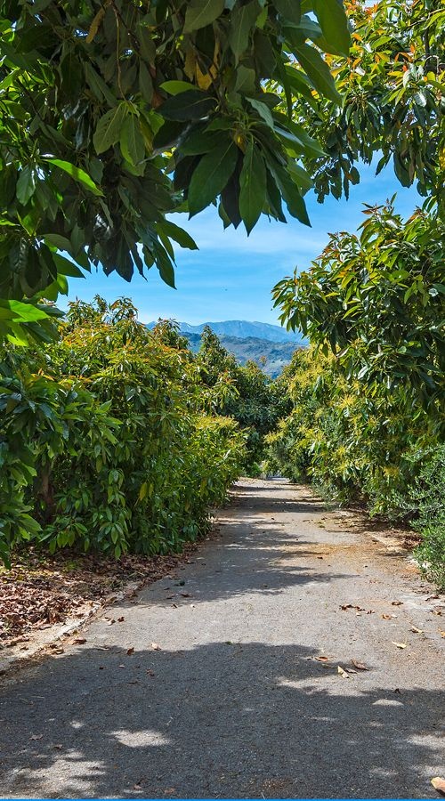 Walking among avocado trees in Crete