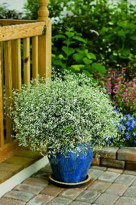 Diamond Frost Euphorbia Dainty White Flowers That Do Well In Sun Or