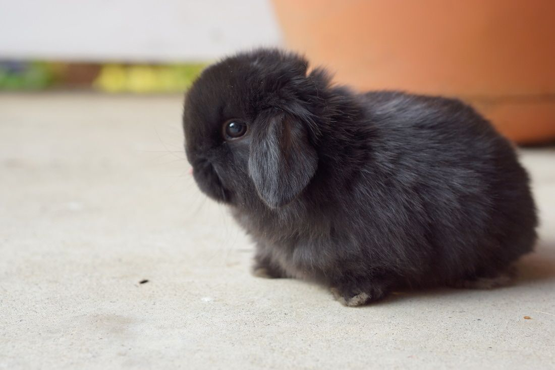 Black Holland Lop Doe For Sale Will Be Ready June 2nd 2017 Bunny Fox And Rabbit Baby Bunnies