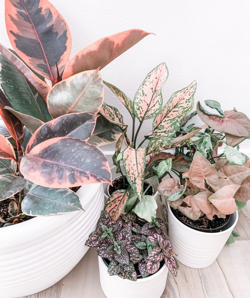 14 Pink Houseplants Perfect for your Valentine is part of Plants, Pretty plants, Indoor plants, Hoya plants, Container plants, House plants indoor - Today we're going over 14 pretty pink houseplants that will surely win you some extra love from the special person in your life