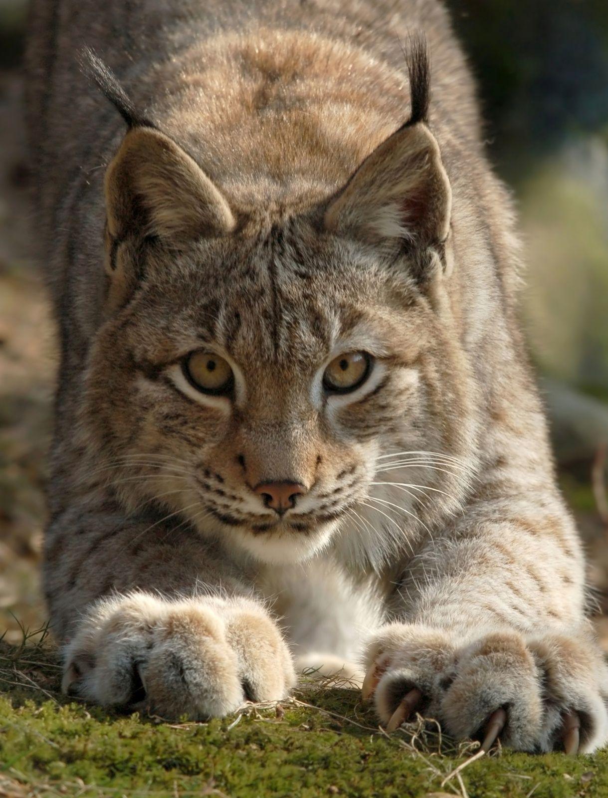 Stf Kolarbyn Eco Lodge Warrior Cats Series Animals Beautiful Warrior Cats