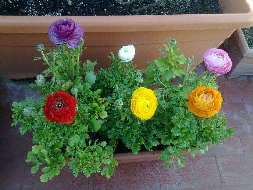 Cuidados para cultivar rosas en maceta - Bambu cuidados en maceta ...