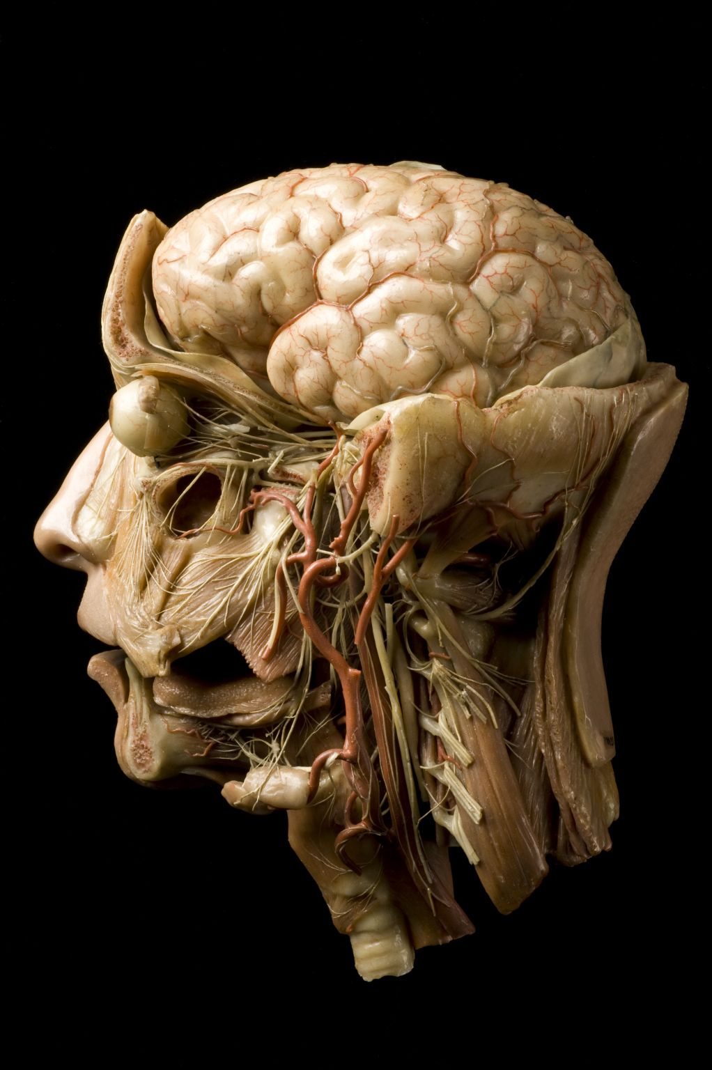 Wax Anatomical Model Of A Human Head Europe 1801 1900 This