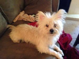 Shaggy Is An Adoptable Cairn Terrier Dog In Lubbock Tx Shaggy
