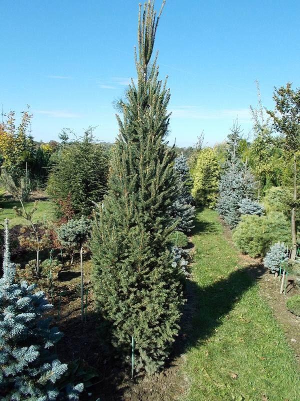 Conifers Of Poland 4 Picea Abies Alexandra Fastigiata Conifers