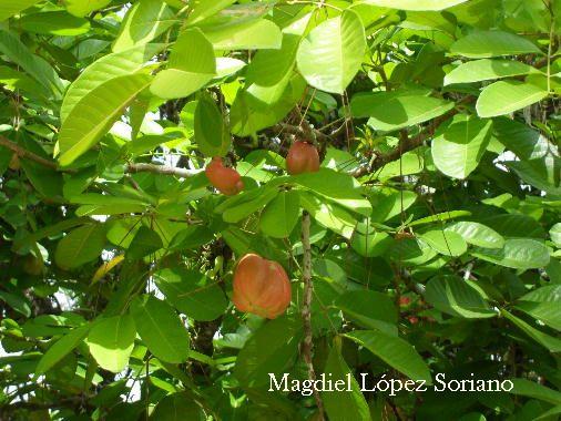 Lbum de rboles de costa rica frutales exoticos for El arbol que no tiene hojas