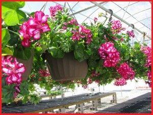 Tanaman Hias Bunga Gantung Jenis Tanaman Hias Merambat Tanaman Hias Gantung Murah Tanaman Hias Gantung Minimalis Tanaman Hias Gantung Bunga Tanaman Menanam