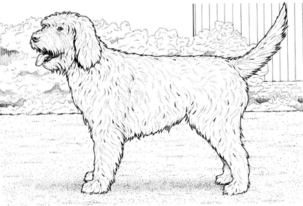 Superb Labradoodle Coloring Page