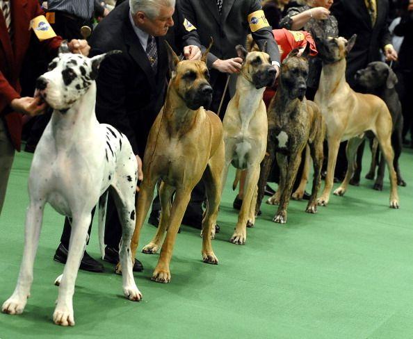 Photos Westminster Dog Show Westminster Dog Show Great Dane