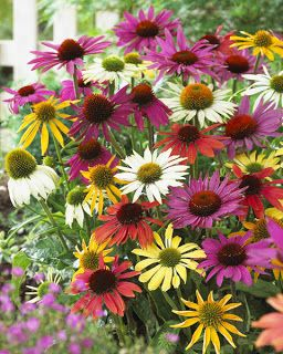Beautiful Flowers · Echinacea Butterfly® Hybrids