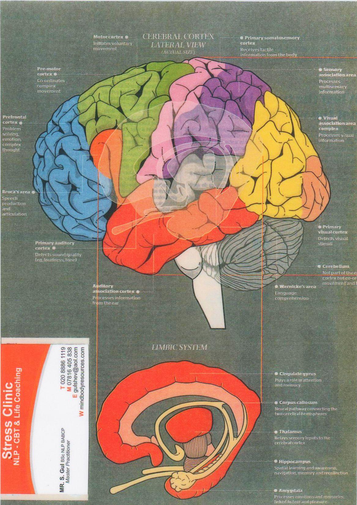 como cérebro humano funciona | PNL | Pinterest