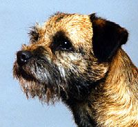 Grooming Your Border Terrier Scarlett Gauthier Seth Gauthier