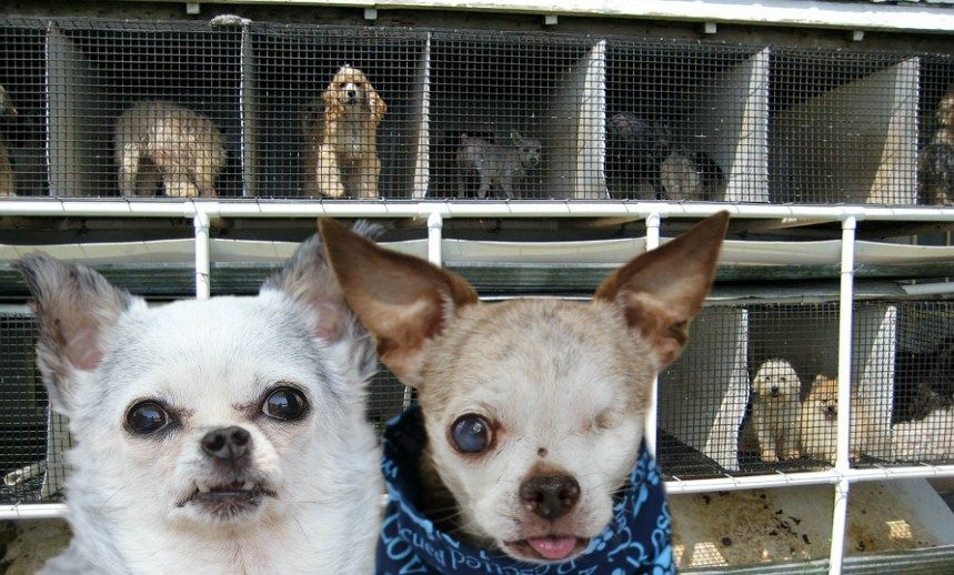 New Year S Resolutions To Help End Puppy Mills Puppy Mills