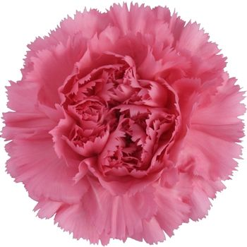 Watermelon Pink Carnation Flower Carnation Flower Carnations Pink Carnations