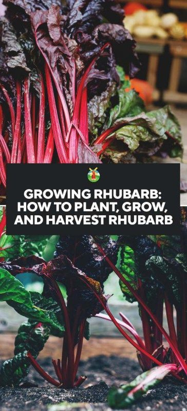 how to grow rhubarb from seed