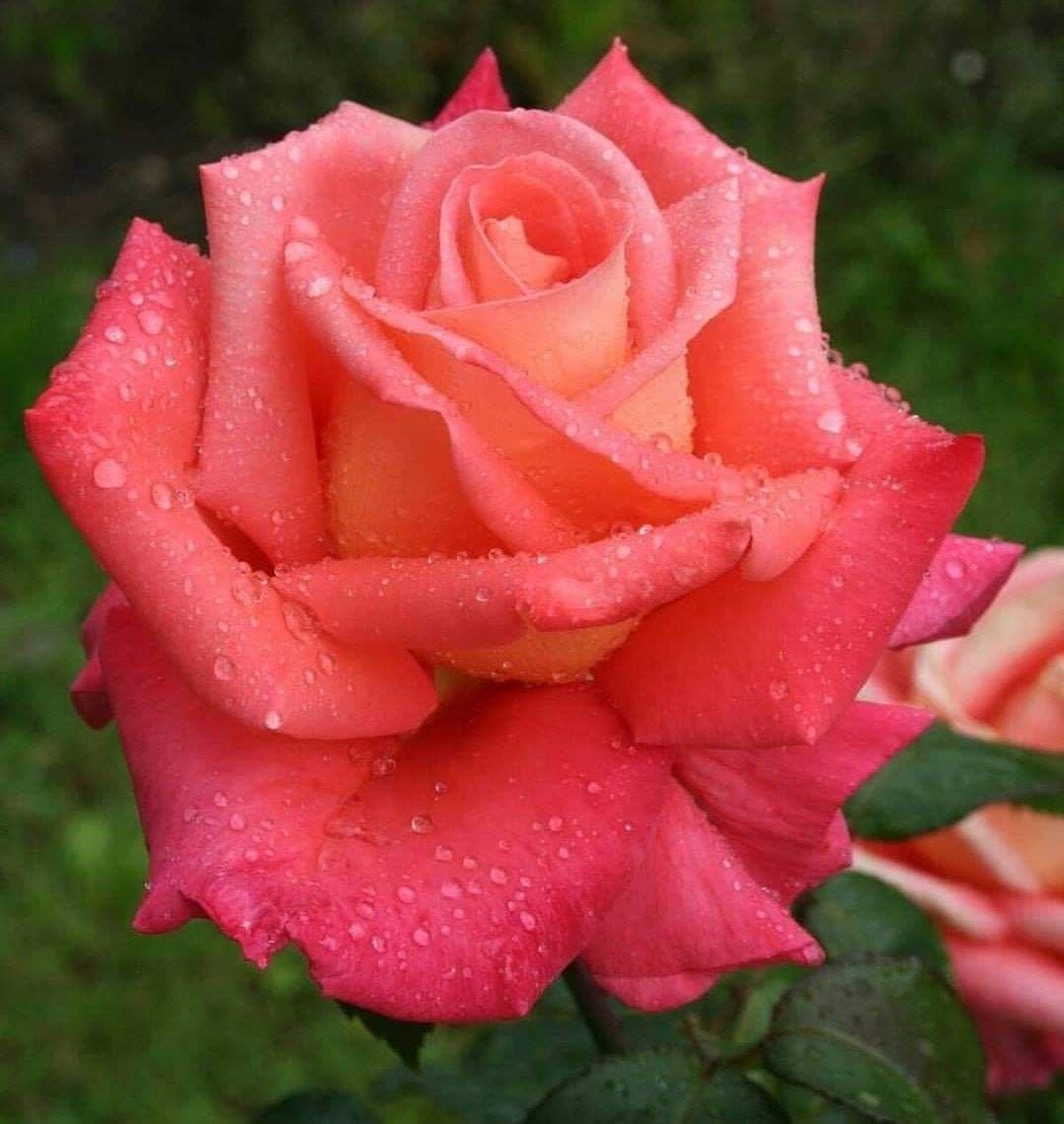 картинки экзотических роз