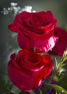 Red Red Rose Greeting Card for Sale by Kathy Clark