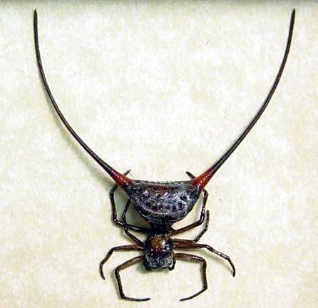 Real Strange Wishbone Spider Framed Insect 2140. $39.99, via Etsy.