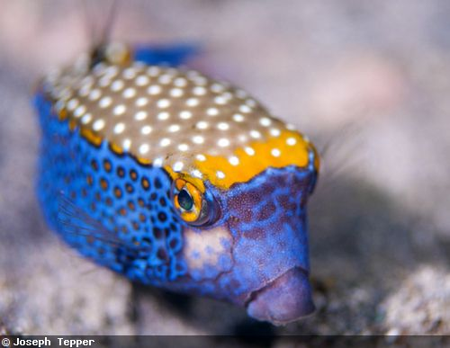 this type of spotted boxfish 2 inches is endemic to hawaiian