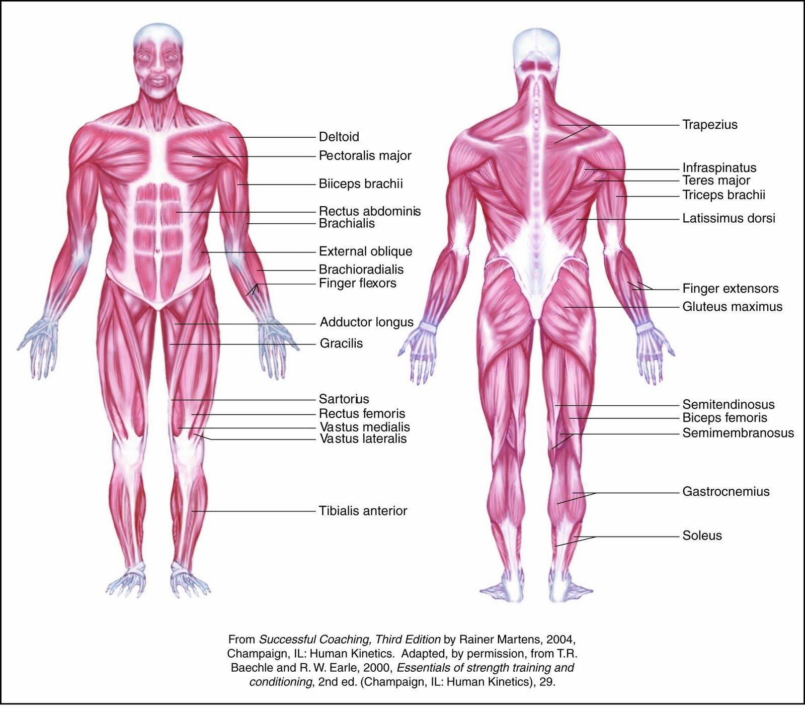 All Muscles In Human Body | Cea1.com – Human Body Anatomy | Anatomia ...