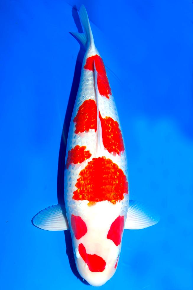 No Not Kinginrin Kohaku It S More Like A Metalic Kikusui Or An Off Centered Marutin Kohaku Or Simply So Rare We Name Him Mr Dots Koi Fish Koi Fish