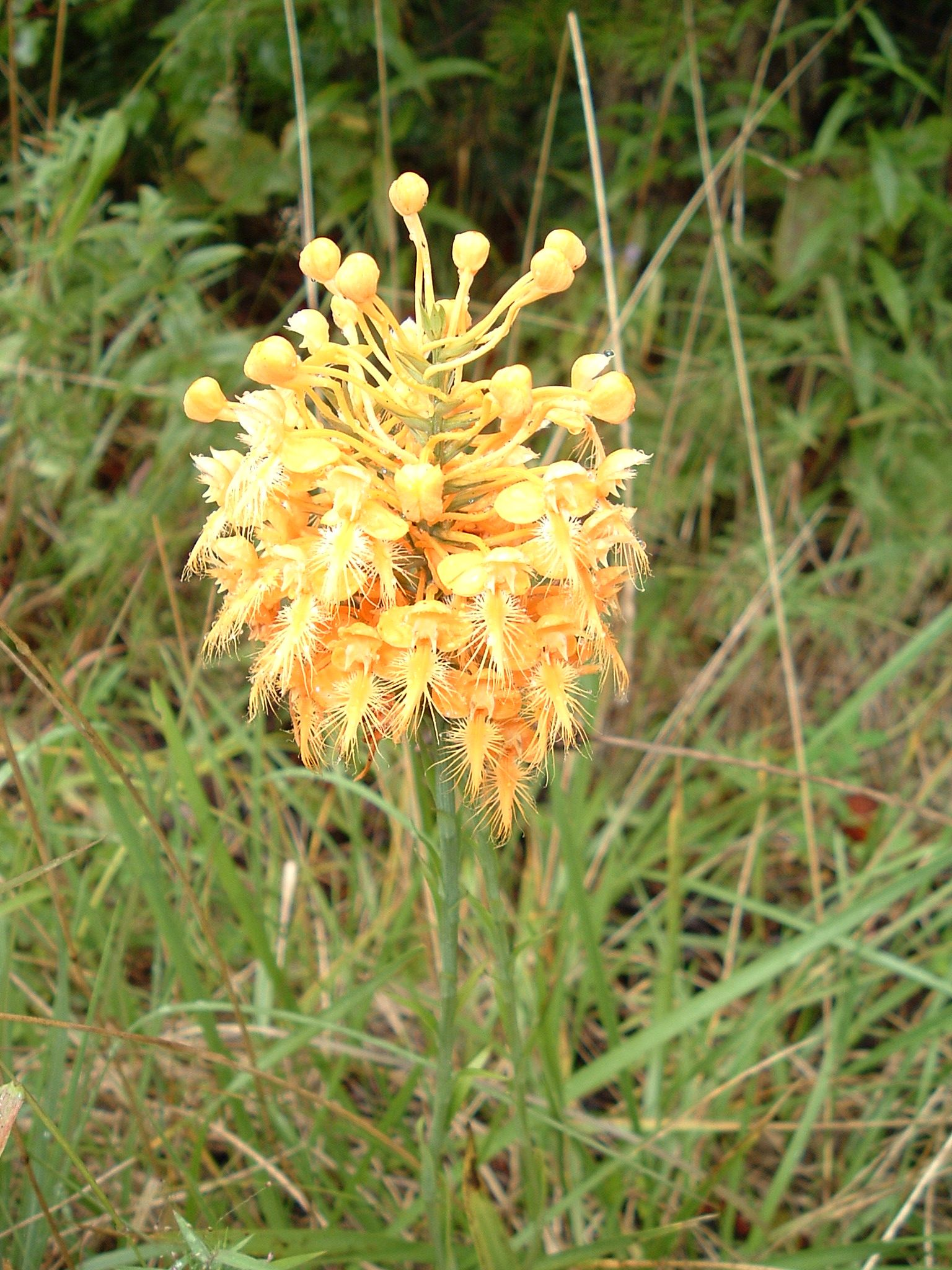 Yellow fringed orchid gardensgardening and plants pinterest