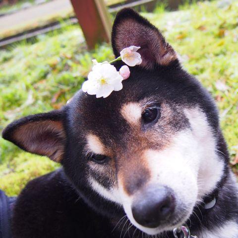 みか 柴犬男子8歳。桜の花飾りに、鼻ちょうちんです。  PetSmile