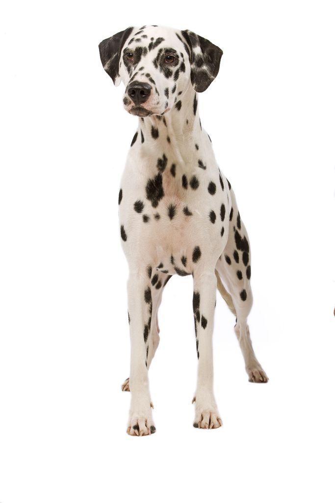 Далматин | каталог пород собак Royal Canin