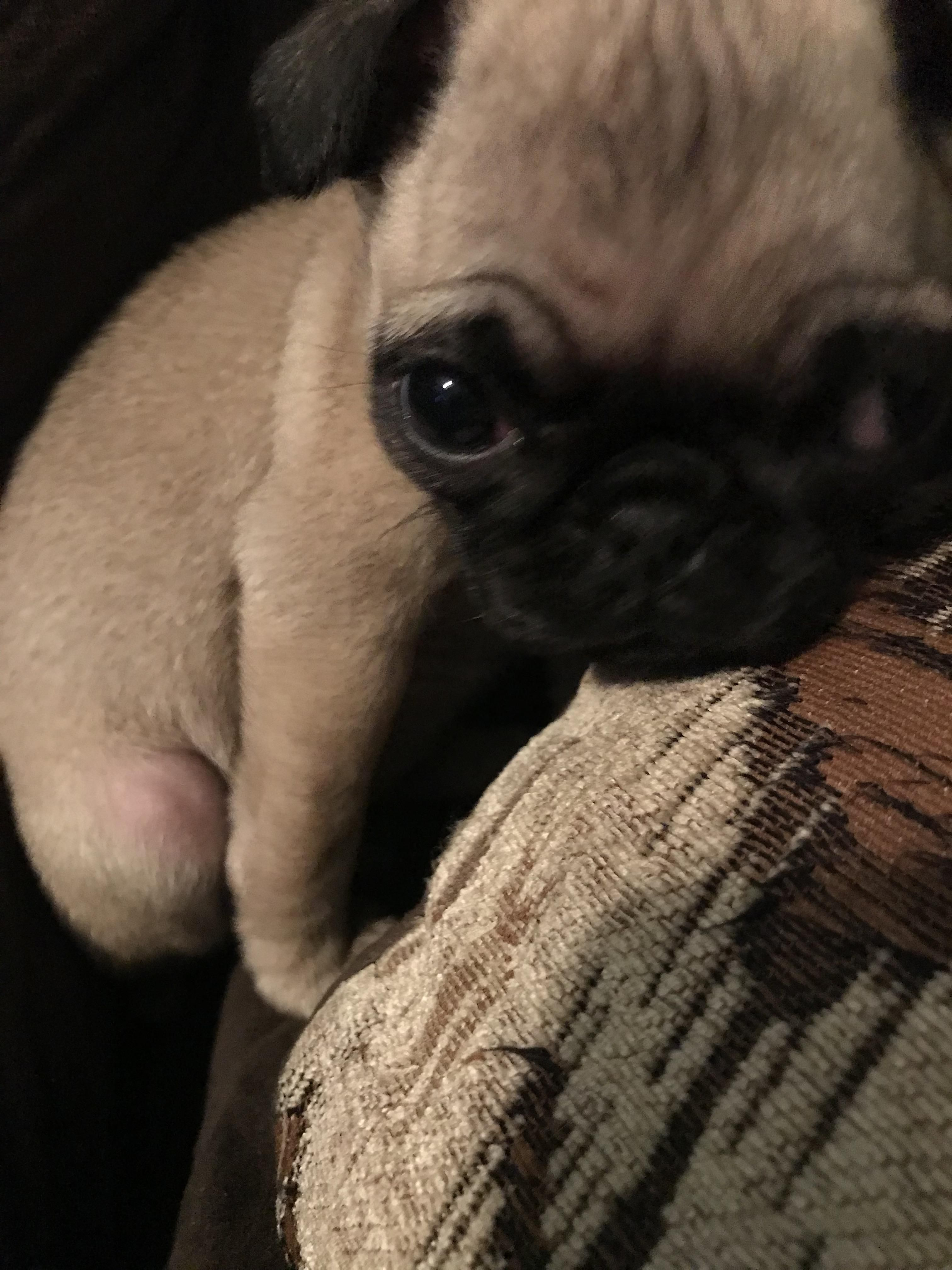 Lulu The Pug Says Hello Yall Httpsifttt2Lumeqq