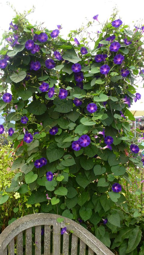 Ipomoea Purpurea Kniola S Black Purple Black Morning Glory Purple Garden Trees To Plant Morning Glory Flowers