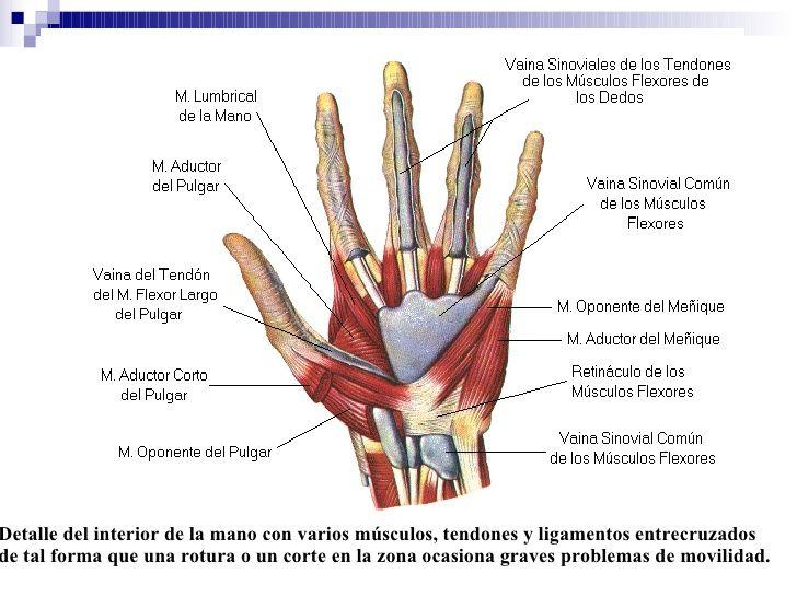 Musculatura y tendones mano   Anatomía para el movimiento ...
