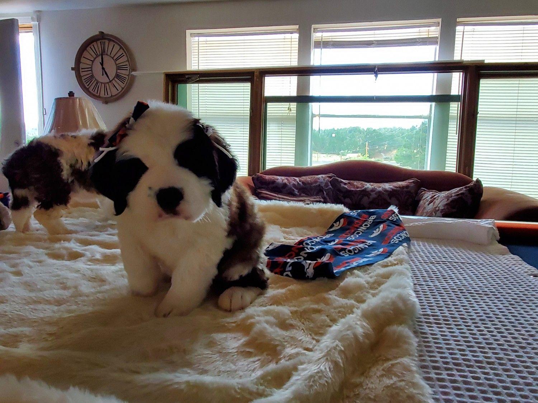 St Bernard Puppies For Sale Albuquerque Nm Puppies For Sale St Bernard Puppy New Puppy