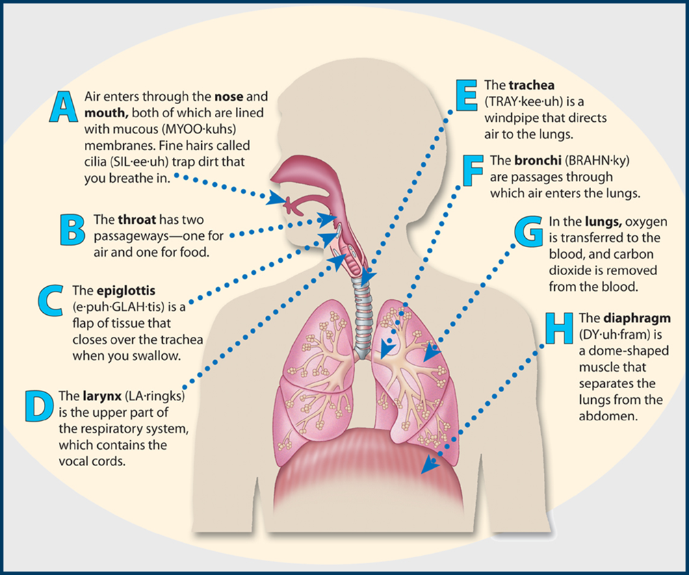 The human respiratory system consists of the lungs and other organs the human respiratory system consists of the lungs and other organs its main function is to take in oxygen and carbon dioxide science ccuart Image collections