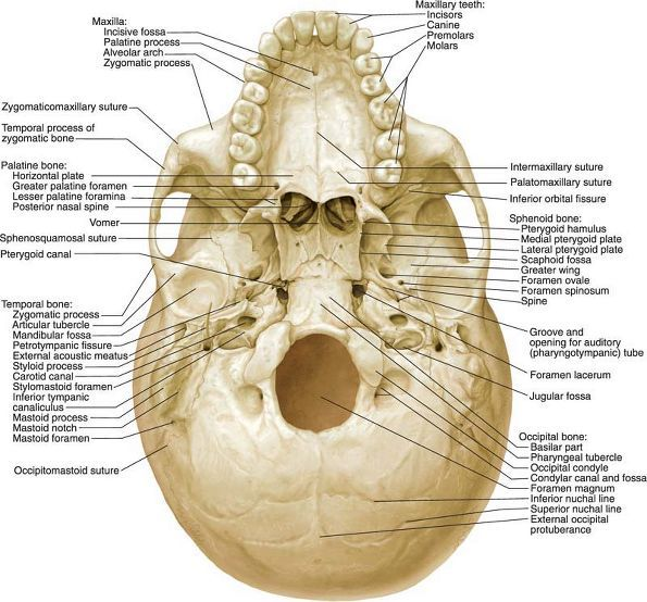 Base Of The Skull Frontal Bone Ethmoid Sphenoid Petrous Portion