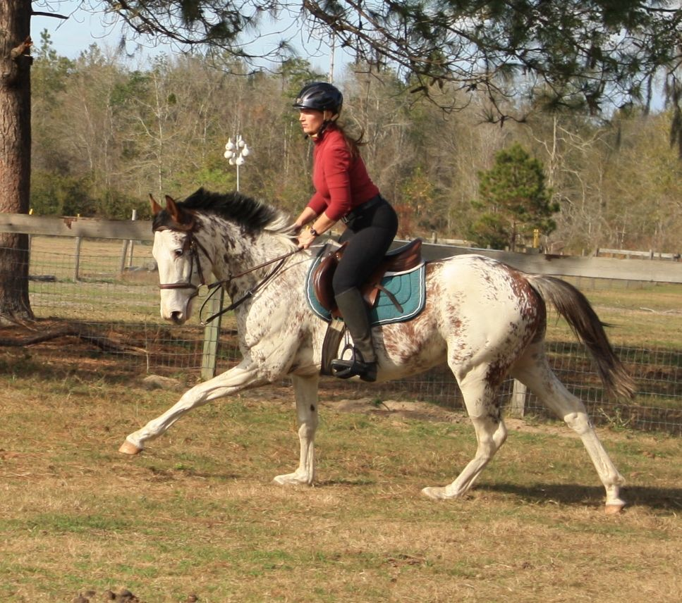 Puchi's Special FX (Chet D T x Saved by Favorite Trick) is a 2009 JC registered Thoroughbred stallion that enjoys dual registration with the APHA thanks to his loud bay sabino coloration. Standing at Fox Haven Farm, Inc.