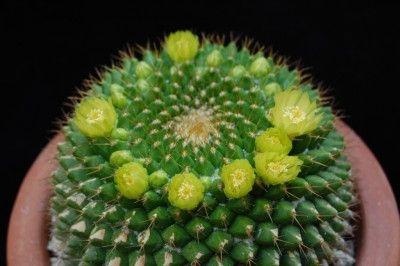 Mammillaria marksiana 68-20120602 [1024x768].JPG (159.67 KiB) Osservato 811 volte