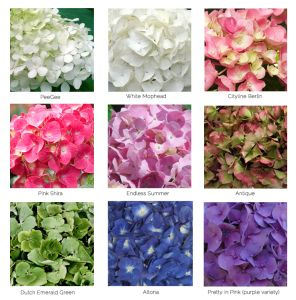 Hydrangea How-to's | Life In Bloom