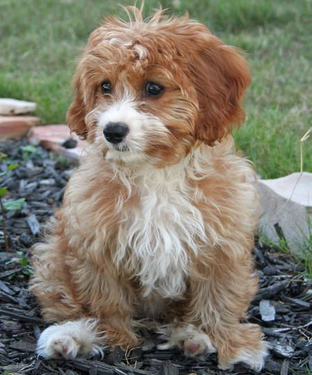 Such A Cute Havapoo Havapoo Sunny Day Puppies Poodle Mix Breeds Poodle Mix Poodle Mix Dogs